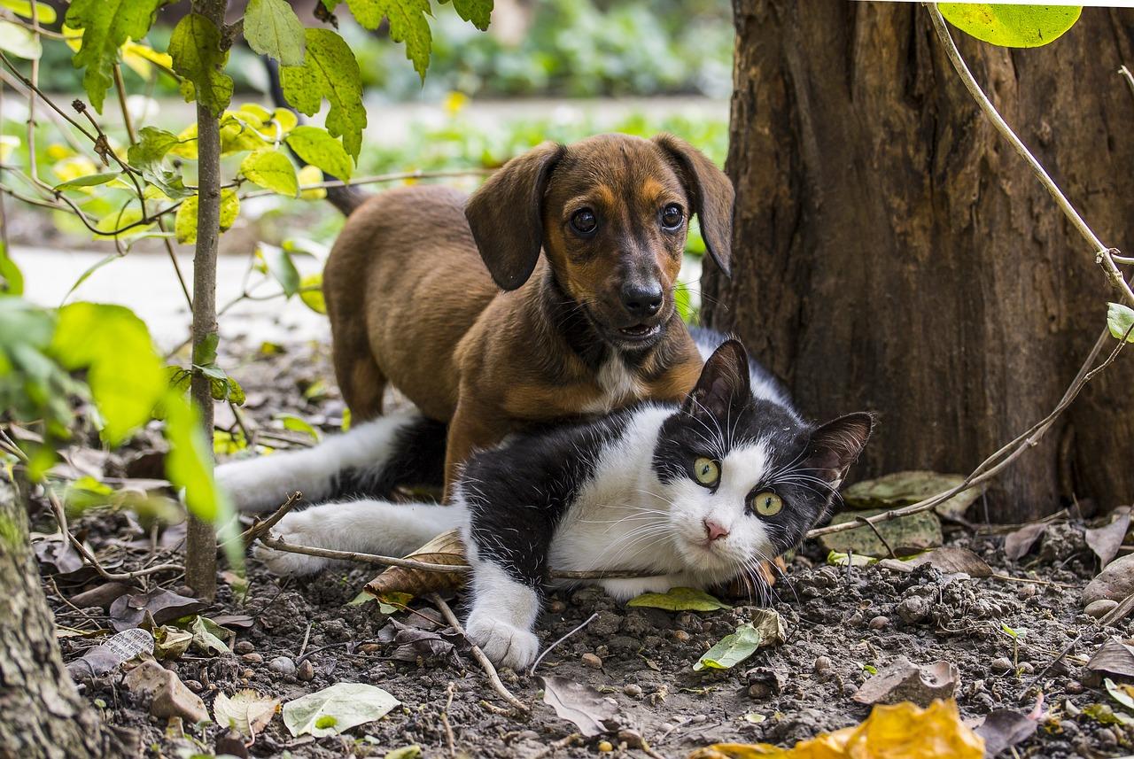 spelar katt och hundar